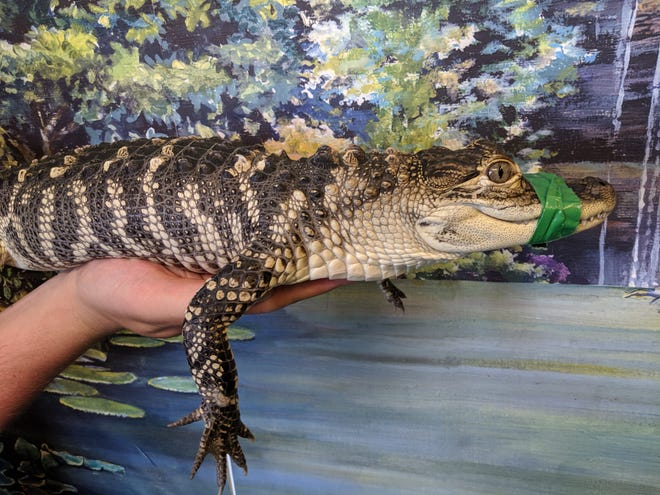 One of the alligators captured in Eastpointe yesterday.