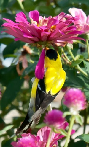 This male American Goldfinch has just picked off a seed from underneath the Uproar Rose blossom.