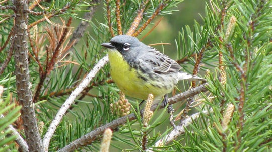 A Kirtland's warbler photographed near Mio, Mich., on May 19, 2008. The songbird lives in the jack pine forests of northern Michigan.