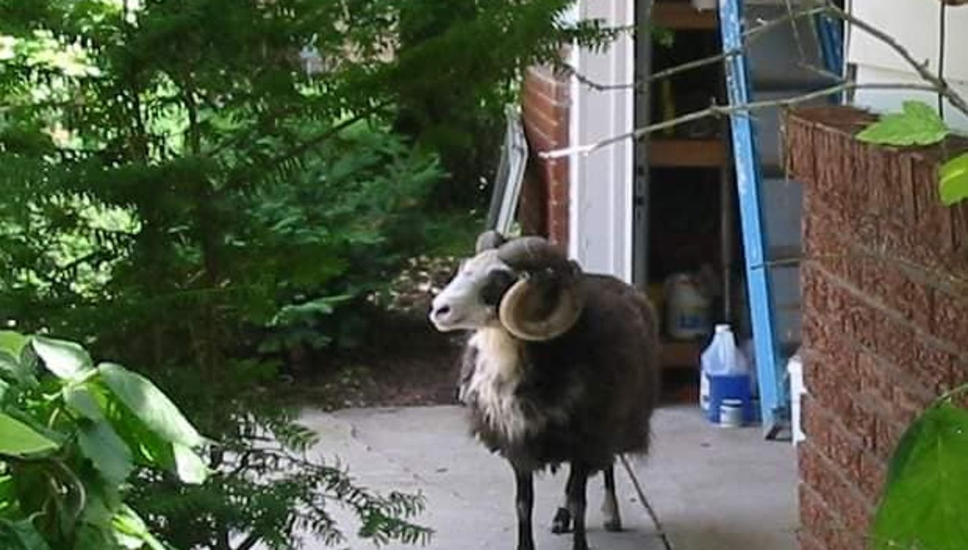 Ram spotted in rural Outagamie County safe at Greenville zoo