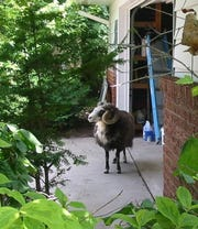 A ram was spotted in the garage of a rural Outagamie County resident Tuesday afternoon.