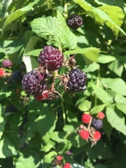 Black raspberries ready to pick at Monica and Paul Hoherz garden