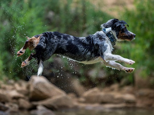 Tucker, an Australian Shepherd and beagle mix, leaps into the water at the PetSafe Emma Jane Walker Memorial Dog Park at Tommy Schumpert Park on Wednesday, July 10, 2019. Tucker's keeper, Natali Carrasco brings him to the park to swim 2 or 3 times a week.
