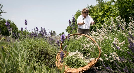 Wynne Wright of Sixteen Sprigs Lavender Farm in Lansing harvests lavender Tuesday, July 9, 2019.