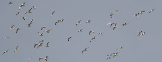 Gulls loiter above the Muskegon County municipal landfill in Ravenna, Michigan, Monday, July 8, 2019.  When trucks drop off waste, multiple flocks plunge downward in search of sustenance.