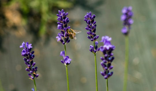 A bee pollinates lavender flowers.