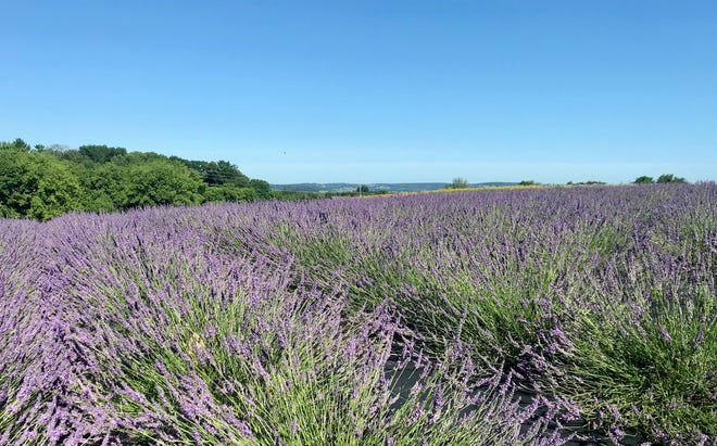 Lavender Farms Wisconsin Farmers Find Uses For Aromatic Edible Herb