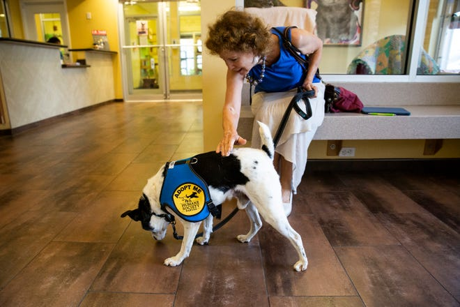 Harriet Heithaus pats Gus before taking him out for a field trip on Wednesday, July 10, 2019, at the Humane Society Naples in Naples.  Gus is available for the Humane Society Naples' Rescue Recess program, which aims to help the rescued dogs burn off the stress and get more exposures to the local community.