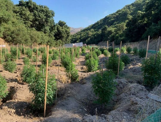 Law enforcement seized 1,350 illegally grown marijuana plants and a rifle as a search warrant was served in South Monterey County Tuesday, sheriff's deputies say.