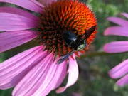 A bee on a purple coneflower. Photo by Donna Legare.