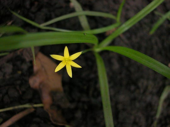 Yellow star grass is in the lily family.