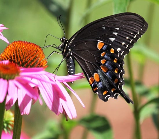 Spicebush swallowtail on purple coneflower.