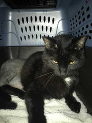 Simon suffered permanent damage to his hind legs after being shot. SPCA looking for suspect(s).