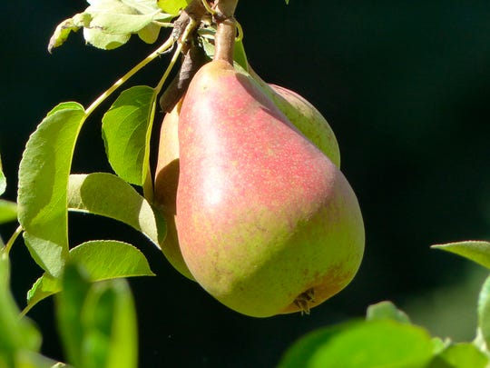 Pears will mature on trees but not ripen and if left too long will turn brown inside.