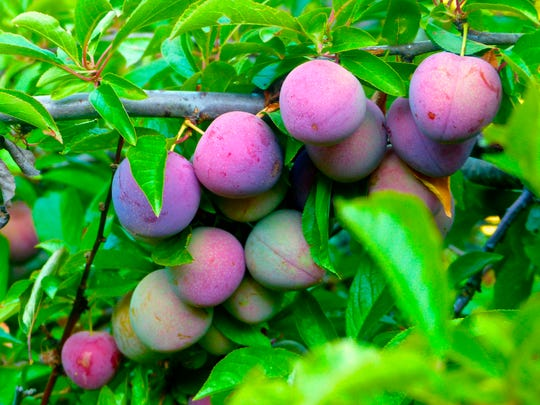 Flesh firmness and color are good clues to determine when plums are ripe enough to be picked.
