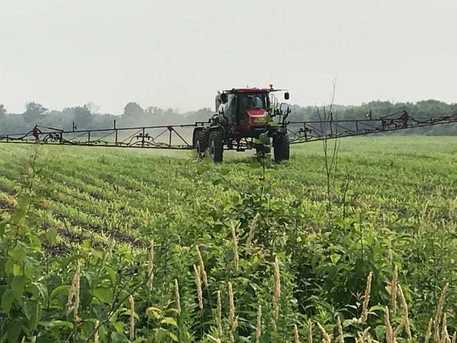 Many farmers have opted to plant corn as a cover crop after the USDA approved corn and soybeans as an eligible cover crop.