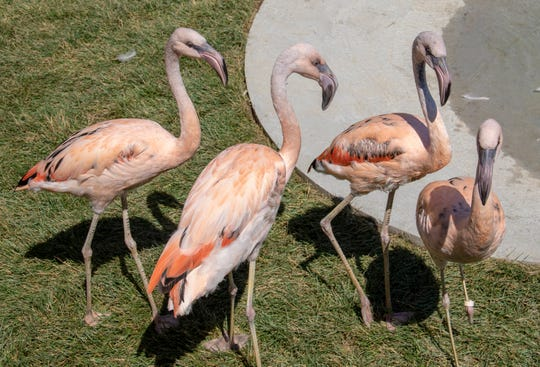 Chilean Flamingoes are the newest species at Animal Adventure Park.