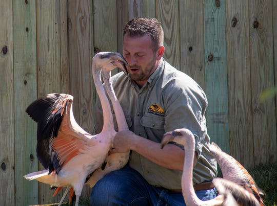 Animal Adventure Park owner Jordan Patch works with the park's new Chilean flamingos.