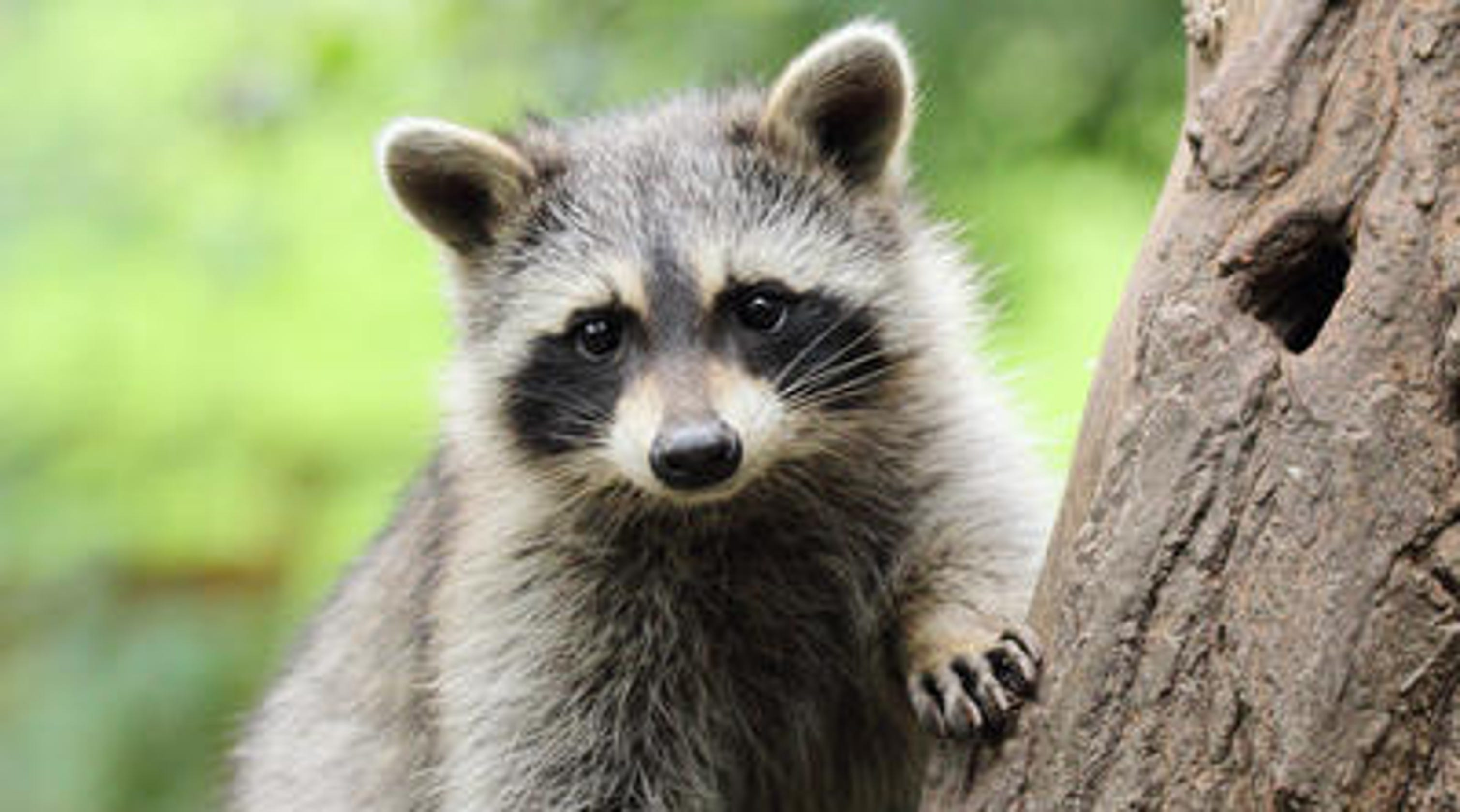 Raccoons rank as most rabid animal in Vermont