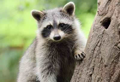 A file photo of a juvenile raccoon.
