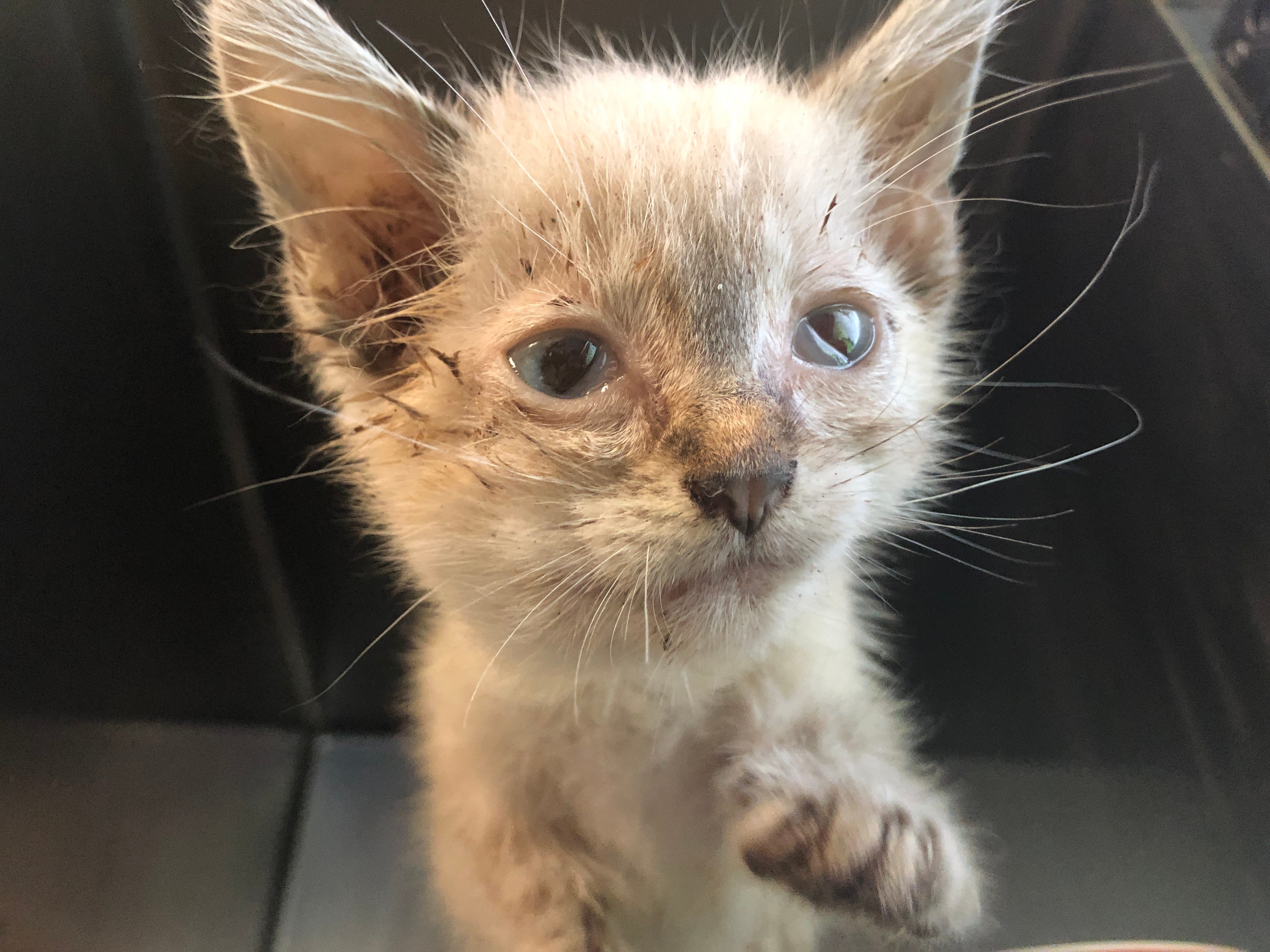 ARL rescues at least 36 cats and kittens from Des Moines home