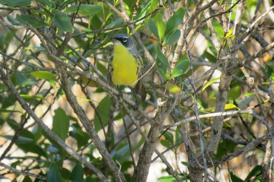 David Ewert of the American Bird Conservancy found this Kirtland's warbler in the Bahamas, where the birds spend their winters.