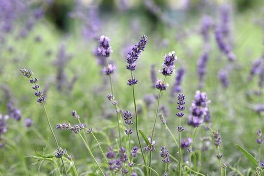 Lavender plants.