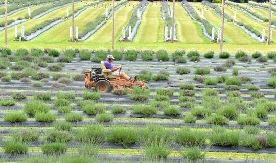 Indigo Lavender Farms grounds keeper Ron Ronat, of Lapeer, mows between rows of lavender at his 23-acre farm in Imlay City.