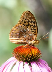 A butterfly hovers on a cone flower.
