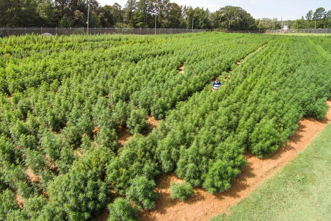 In this 2014 photo provided by the University of Mississippi, Dr. Suman Chandra inspects marijuana plants growing at the Ole Miss medicinal gardens in University, Miss. The plants are used for research under a contract from the National Institute on Drug Abuse. The planned NIDA grow for 2019 will be divided between high THC and high CBD varieties with recent interest (in CBD) as a potential medicine for a number of medical conditions, NIDA said.