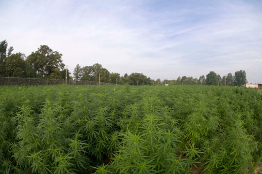 This 2014 photo provided by the University of Mississippi shows marijuana plants growing at the Ole Miss medicinal gardens in University, Miss. The plants are used for research under a contract from the National Institute on Drug Abuse. The planned NIDA grow for 2019 will be divided between high THC and high CBD varieties with recent interest (in CBD) as a potential medicine for a number of medical conditions, NIDA said.