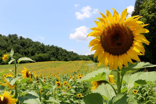 "This year, ""many, many hours"" were spent planting the sunflowers in a staggered fashion across 70 acres."