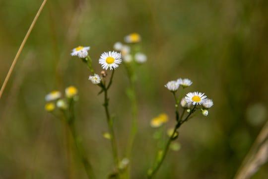 Fleabane Daisy grows wild in the Cedar Grove Wildlife Corridor, where LG&E plans to build a new pipeline. July 9, 2019
