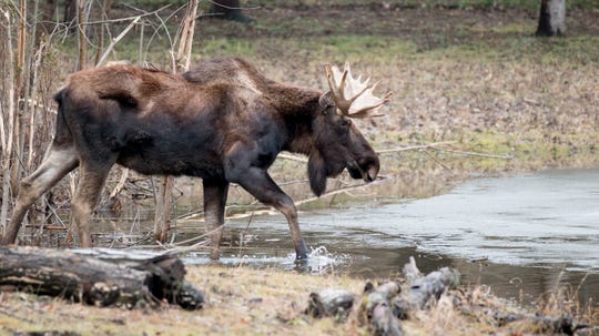Meeko, a Potter Park zoo moose, died Wednesday night. He arrived at the zoo in 2014.