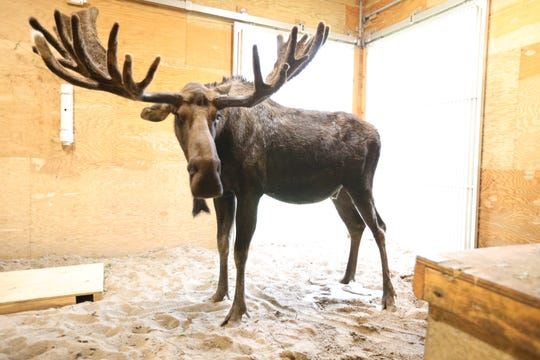 Meeko the moose died Wednesday at Lansing's Potter Park Zoo. He's the last moose to occupy an exhibit that opened in 2016. Zoo officials want to eventually fill the exhibit with more moose.