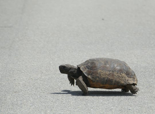 File: A gopher tortoise crosses the street in Dogwood Drive.