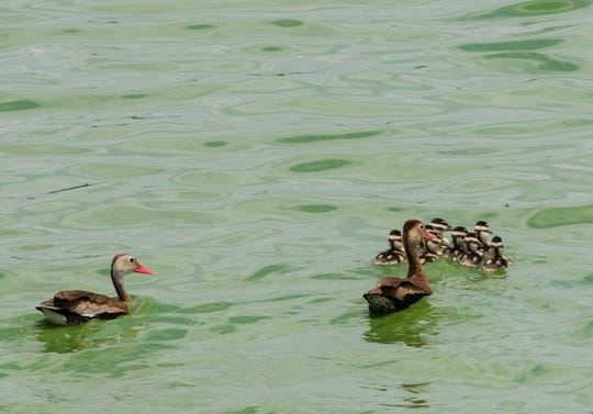A family of ducks swim in the retention pond at the West Monroe Sparta Reuse Facility. The plant uses uses naturally occurring green algae to help clean the city's waste water to supply 5 million gallons of water daily to Graphic Packaging in order to cut down the company's water draw from the natural aquifer which supplies the city's water needs.