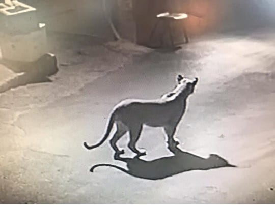 A mountain lion was spotted in the stables at the Ruidoso Downs Casino and Racetrack a few weeks ago.