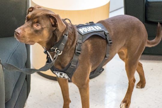 Maple, the Florida Department of Law Enforcement's first electronic storage detection K-9, stands at the Pensacola Regional Operations Center on Thursday.