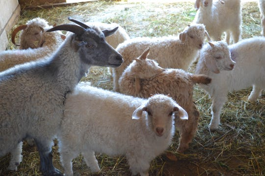 A few of the 25 goats on Laura Fulkert's farm gather in the barn. Fulkert owns both Angora  and Pygora goats, which are a mix between Angora and pygmy goats.