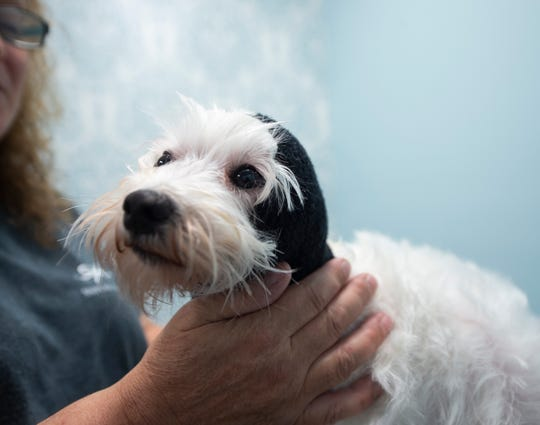 "Lily, Sniffany's owner Sabrina Thomas' 4-year-old Maltese, wears a ""Happy Hood"" after receiving a mud bath at Sniffany's of York in downtown York. The ""Happy hood"" is used to help try the ears and neck of dogs who are afraid of the hair dryer."