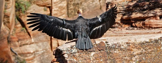 In this May 13, 2019 photo provided by the National Park Service is a female condor in Zion National Park, Utah. Biologists have confirmed that this female California condor laid an egg that has hatched and there is a new baby condor at Zion National Park in southwest Utah. Park rangers said Thursday, July 11, 2019, they estimate the California condor hatched in May, nestled in a crevice of a sweeping red-rock cliff.