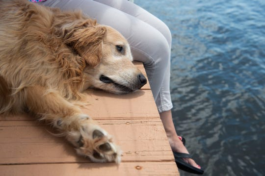 "Costa, a 4-year-old golden retriever, watches as the St. Lucie River flows on Wednesday, July 10, 2019, from the dock of the Guzi family home in Rio. Costa's health instantly deteriorated when she ingested a clump of blue-green algae in September and her veterinarian, Dr. Cristina Maldonado, says the dog has significant liver damage. ""She aged overnight,"" said her owner, Ashley Guzi, pointing out that her bright blonde face has turned white. ""She's still that mischievous puppy, but we don't know how long we'll have her for. We're on borrowed time."""