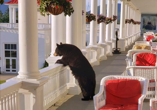 In this Saturday, June 29, 2019 photo provided by Sam Geesaman, a black bear peers over a railing on the back veranda at the Omni Mount Washington Resort just after sunrise at Mount Washington, N.H.