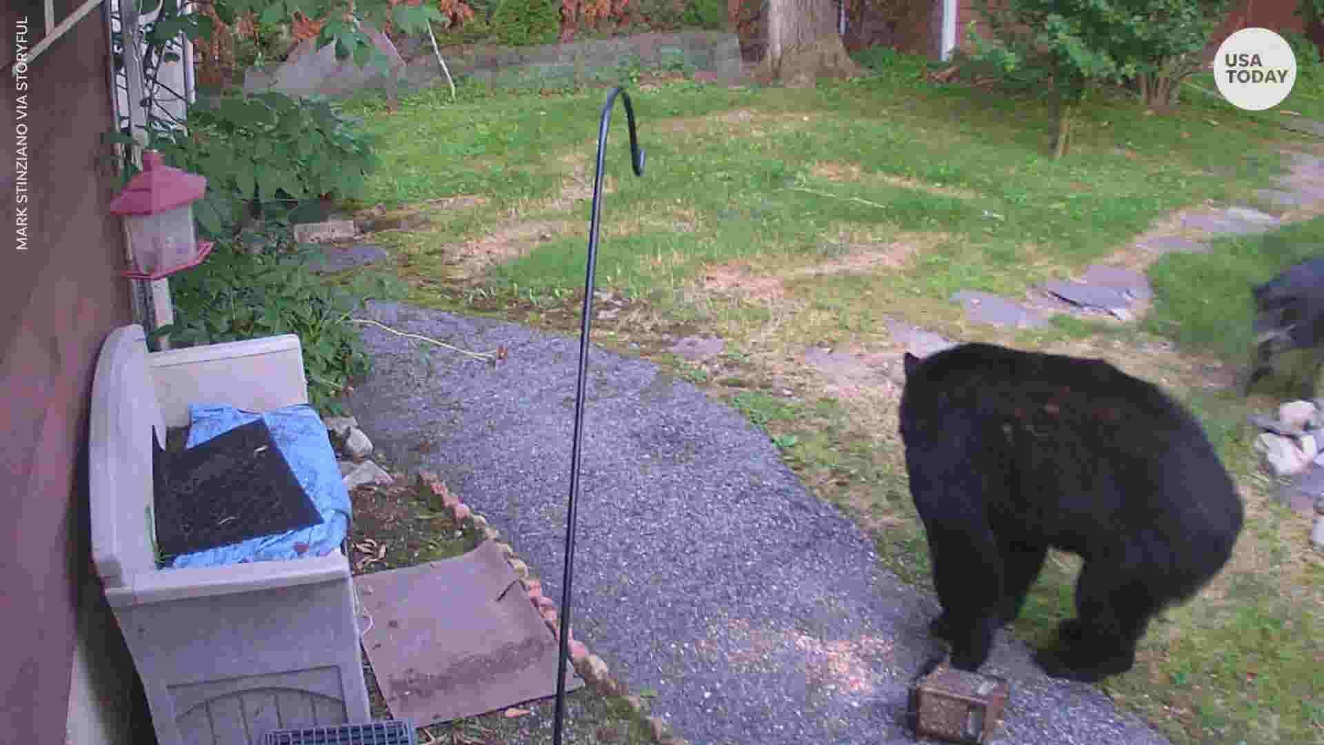 A curious backyard bear gets a little surprise