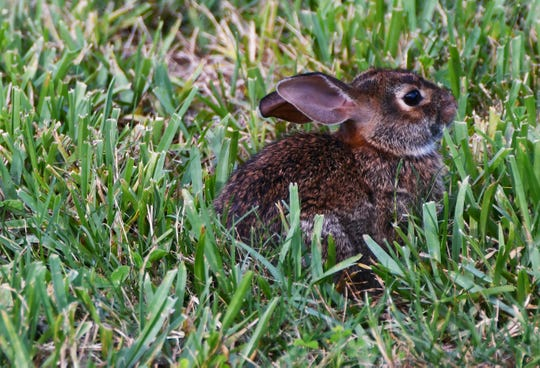 Eastern cottontail rabbits like this one are one of two species of rabbits living on the Space Coast. Marsh rabbits are smaller and more skiddish.