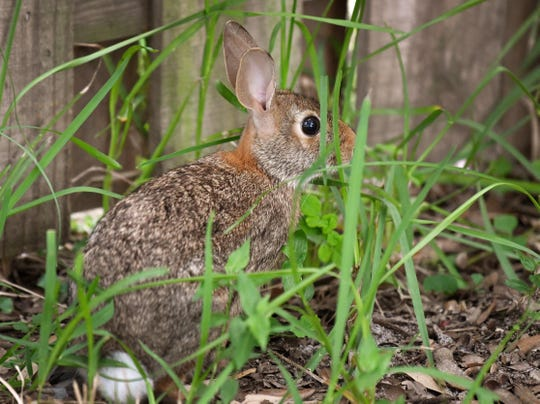 An eastern cottontail rabbit hangs out an a yard in Viera.