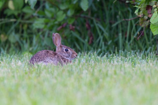 Rabbits are seen by the FLORIDA TODAY building in Suntree on Thursday, July 11, 2019.
