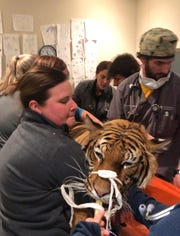 Veterinarians at the MedVet practice on Red Bank Road handle Chira, a Malayan tiger who lives at the Cincinnati Zoo, before the big cat undergoes an MRI to look for the causes of her seizures.