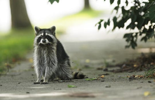 The Union County Prosecutor's Office is investigating a suspected case of animal  cruelty involving a trapped raccoon that was set on fire in Plainfield last week.